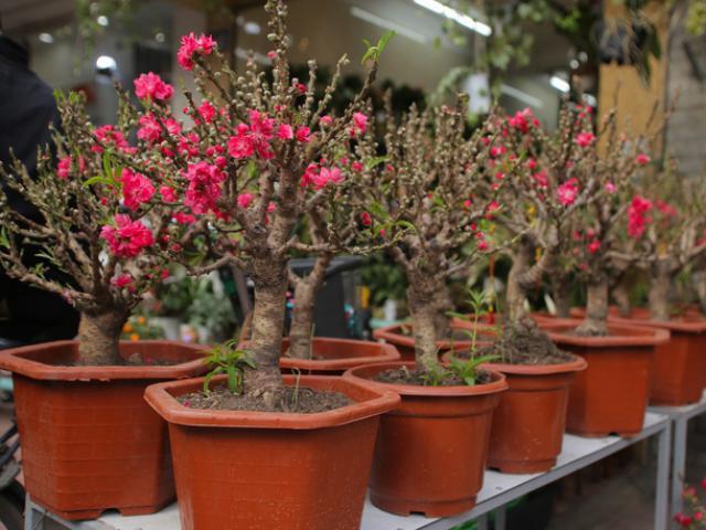 Đào mini Trung Quốc giá tiền triệu tràn ngập chợ hoa