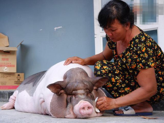 Năm Hợi nghe chuyện về những người coi lợn như thú cưng, gọi heo là con gái trong nhà