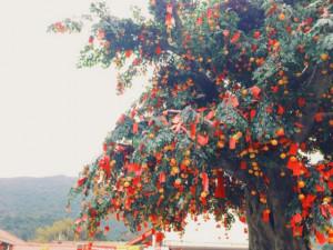 Bí ẩn về cây nguyện ước linh thiêng nhất xứ cảng thơm