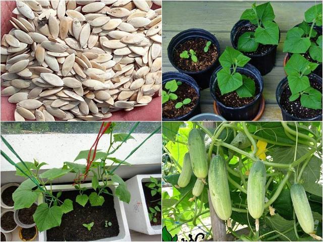 Cách trồng dưa chuột trong thùng xốp vẫn cho quả sai lúc lỉu ăn cả tuần không hết