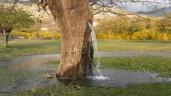 Kỳ lạ cây dâu cổ thụ phun nước xối xả suốt 25 năm
