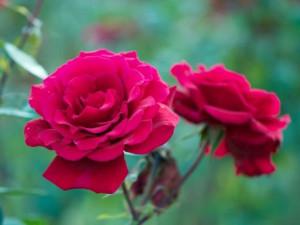 Các loài hoa hồng đẹp trên thế giới