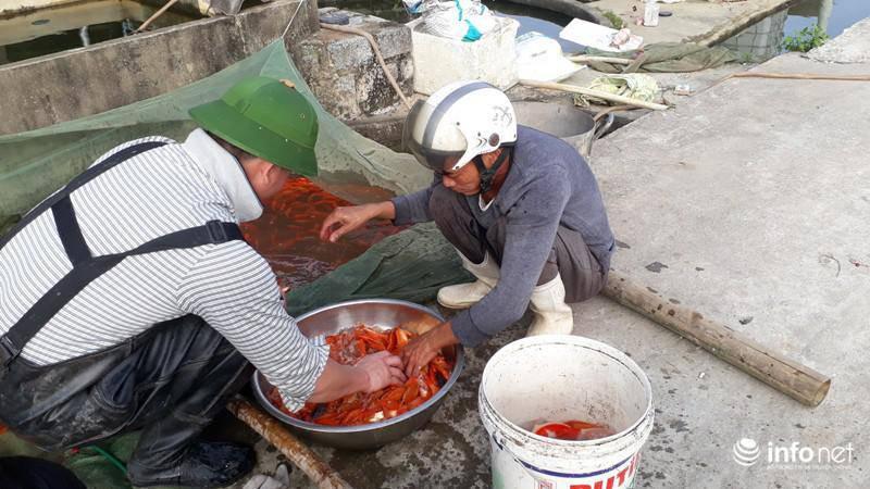 Tất bật cho Tết ông Công ông Táo ở làng nuôi cá chép đỏ lớn nhất xứ Thanh