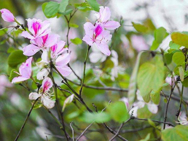Ngắm hoa ban Tây Bắc nở bung rực rỡ, đẹp nao lòng giữa phố Hà Nội