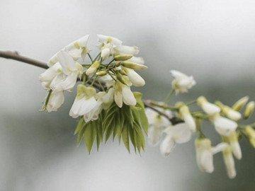 Tâm hồn bình yên đến kỳ lạ khi ngắm hoa sưa bung nở trắng trời Hà Nội