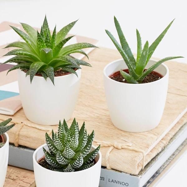 8 loại cây trồng trong phòng ngủ làm sáng bừng không gian, cải thiện giấc ngủ - 4