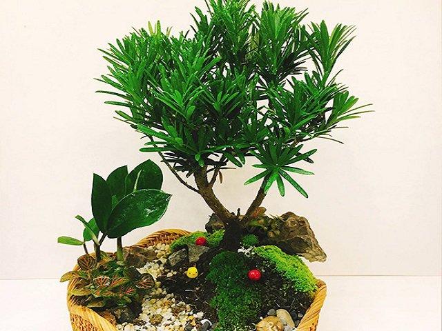 Tìm hiểu về cây tùng la hán: Ý nghĩa của cây và tuổi nào nên đặt trong nhà