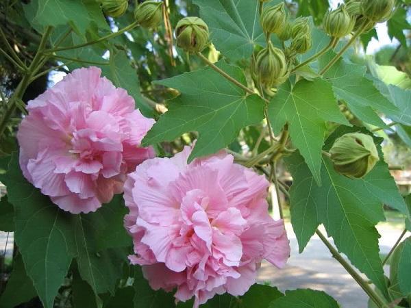 Hoa Phù Dung: Hình ảnh, ý nghĩa và cách trồng loài hoa sớm nở tối tàn - 3