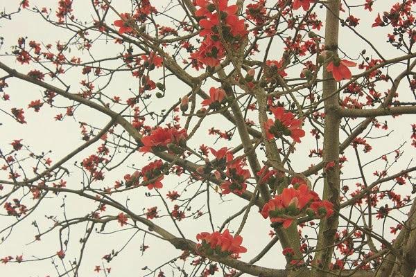 Cây hoa gạo: Hình ảnh, đặc điểm, ý nghĩa loài hoa của tháng 3 - 4