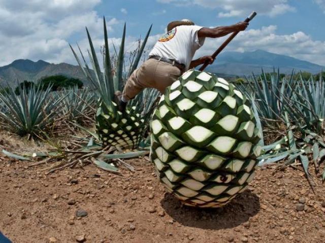 Loại quả như dứa khổng lồ thực chất là nguyên liệu làm ra thức uống ngon nhất thế giới