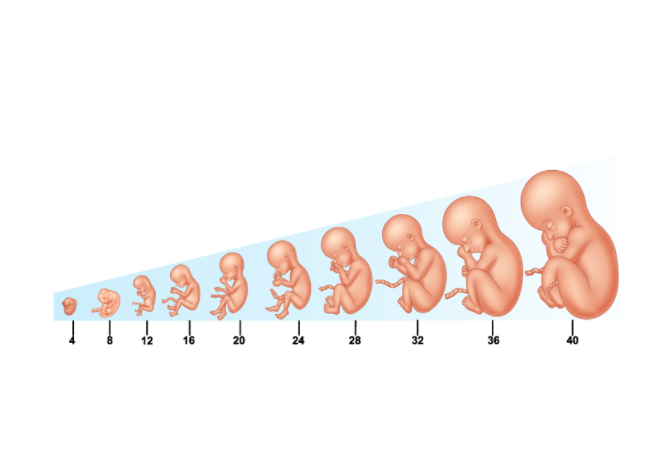 Bảng cân nặng thai nhi 2021 theo tháng, tuần chuẩn từ WHO - 1