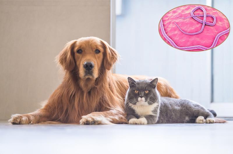 Bệnh giun sán nhiễm từ chó mèo là một bệnh nhiễm trùng lây truyền từ động vật sang người gây ra bởi giun tròn ký sinh thường tìm thấy trong ruột của chó (Toxocara canis) và mèo (T. cati).