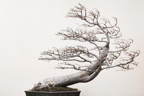 cay bonsai va cac dang day co y nghia phong thuy tai loc - 12