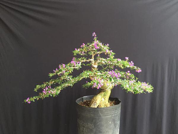 cay bonsai va cac dang day co y nghia phong thuy tai loc - 6