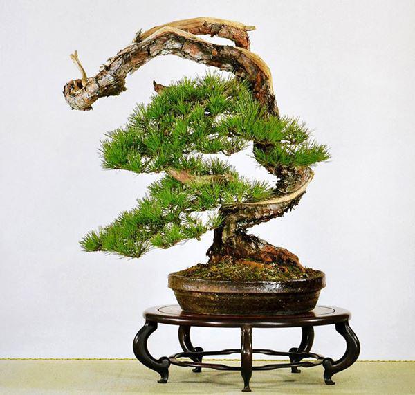 cay bonsai va cac dang day co y nghia phong thuy tai loc - 9