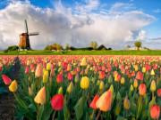 Quy trình sản xuất củ giống hoa tulip Hà Lan