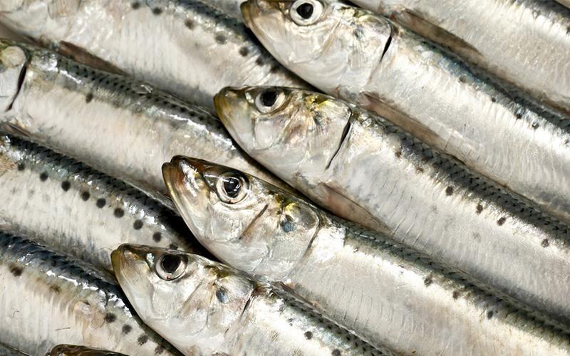 Cá mòi là nguồn thực phẩm giàu axit docosahexaenoic (DHA), rất quan trọng cho sự phát triển não bộ, hệ thần kinh trung ương của thai nhi. Loại cá này cũng giàu vitamin D và ít có khả năng bị nhiễm thủy ngân hơn so với các loại cá khác.