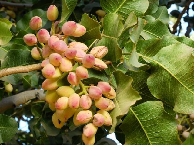 Cây lì lợm trồng 6 năm mới ra quả, giá 600.000 đồng/kg mà ai cũng thích