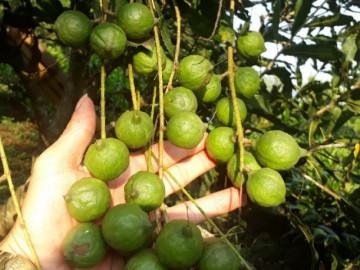 Lai Châu: Loài cây ra quả sai như chùm sung, ăn vài hạt khỏe cả người