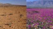Sa mạc khổng lồ biến thành cánh đồng hoa rộng lớn