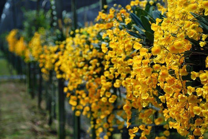 Cách chăm sóc cây lan vảy rồng, không phải chuyên gia vẫn cho hoa từng chùm - 1