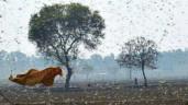 Thảm họa châu chấu tồi tệ nhất trong 27 năm đang tàn phá Ấn Độ