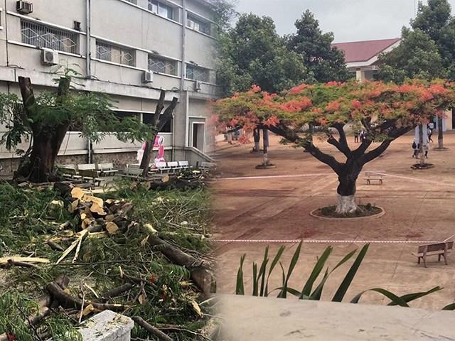 Sau vụ cây đổ đè học sinh, bức ảnh phong tỏa cây phượng thu hút 92 nghìn lượt thích