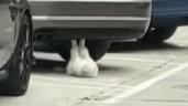 """Thích thú cảnh mèo hăng say tập """"gập bụng"""" dưới gầm ô tô"""