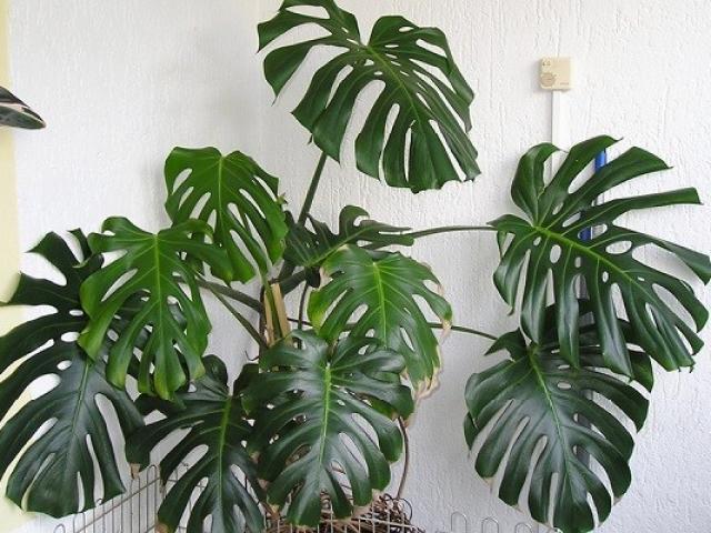 Cây Trầu bà Nam Mỹ (Monstera) là cây gì? Ý nghĩa và cách chăm sóc