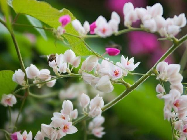 Ý nghĩa hoa Tigon, những đặc điểm và cách trồng hoa Tigon nở đẹp mắt