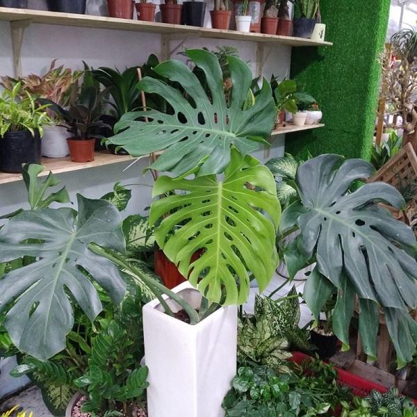 Cây Trầu bà Nam Mỹ (Monstera) là cây gì? Ý nghĩa và cách chăm sóc - 4