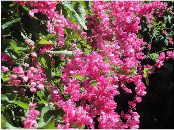 Ý nghĩa hoa Tigon, những đặc điểm và cách trồng hoa Tigon nở đẹp mắt - 4