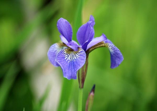 Hoa Diên Vĩ - Ý nghĩa, nguồn gốc, công dụng và cách trồng - 1