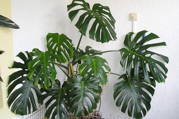 Cây Trầu bà Nam Mỹ (Monstera) là cây gì? Ý nghĩa và cách chăm sóc - 3