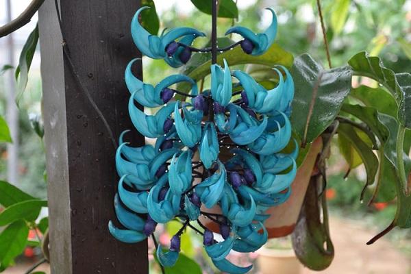 Cây hoa móng cọp có ý nghĩa gì và cách trồng, chăm sóc tốt nhất - 3