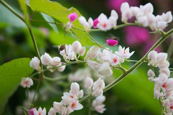 Ý nghĩa hoa Tigon, những đặc điểm và cách trồng hoa Tigon nở đẹp mắt - 3