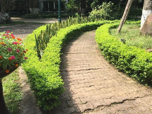 Cây chuỗi ngọc - Đặc điểm, ý nghĩa, cách trồng và chăm sóc cây - 7