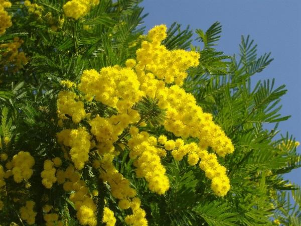 Hoa Mimosa là hoa gì? Ý nghĩa và cách trồng loài hoa đẹp độc lạ - 4