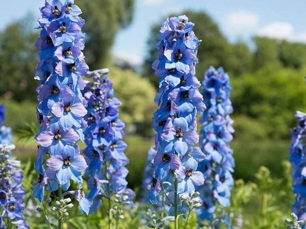 Ý nghĩa hoa Phi Yến - Cách trồng và chăm sóc loài hoa đẹp đẽ của tháng 7 - 4