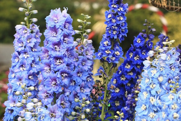 Ý nghĩa hoa Phi Yến - Cách trồng và chăm sóc loài hoa đẹp đẽ của tháng 7 - 1