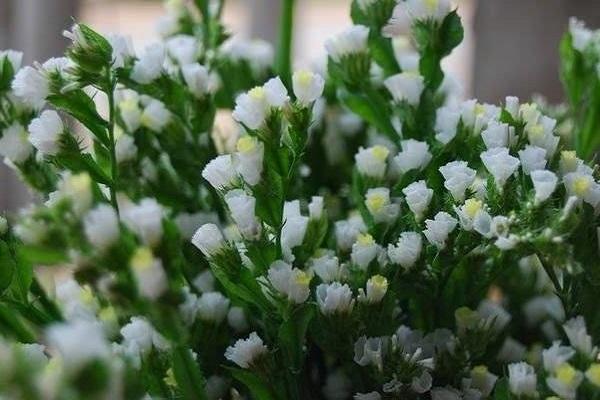 Hoa Salem - Đặc điểm, nguồn gốc, ý nghĩa và cách trồng - 3