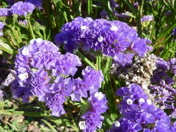Hoa Salem - Đặc điểm, nguồn gốc, ý nghĩa và cách trồng - 4