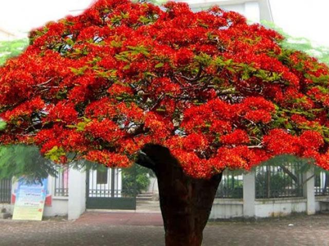 Cây Phượng Vĩ - Đặc điểm, cách trồng và ý nghĩa loài cây hoa của mùa hè