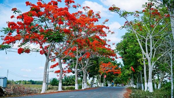 Cây Phượng Vĩ - Đặc điểm, cách trồng và ý nghĩa loài cây hoa của mùa hè - 4