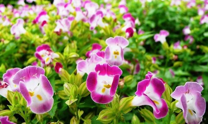 Hoa mõm chó -  Đặc điểm, ý nghĩa, cách trồng và chăm sóc - 4