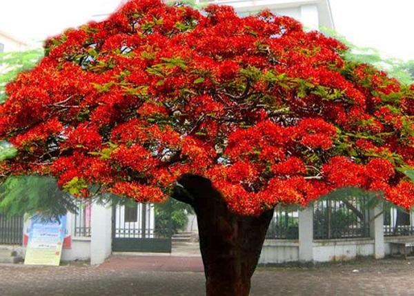 Cây Phượng Vĩ - Đặc điểm, cách trồng và ý nghĩa loài cây hoa của mùa hè - 1