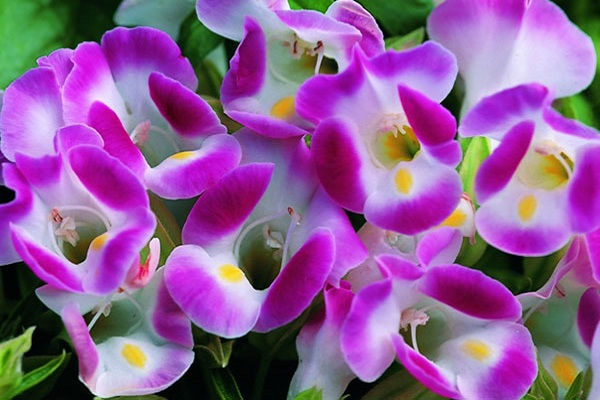 Hoa mõm chó -  Đặc điểm, ý nghĩa, cách trồng và chăm sóc - 3
