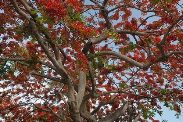 Cây Phượng Vĩ - Đặc điểm, cách trồng và ý nghĩa loài cây hoa của mùa hè - 3