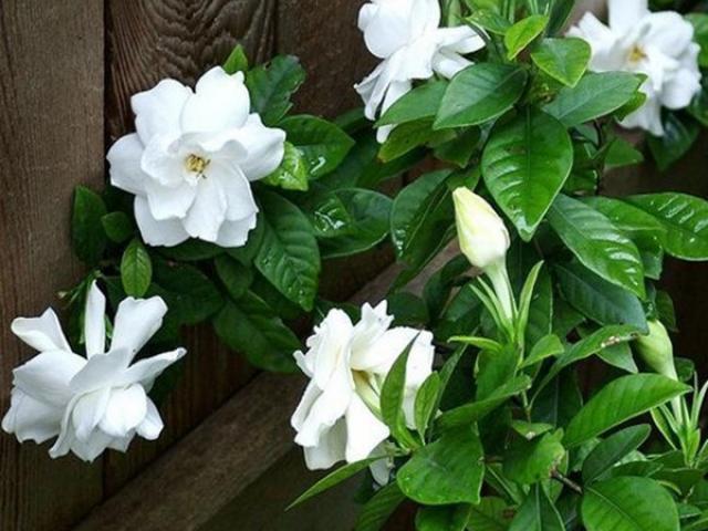 Có 5 lọai cây nên trồng trong nhà, có thể khiến mọi căn phòng trở nên thơm ngát