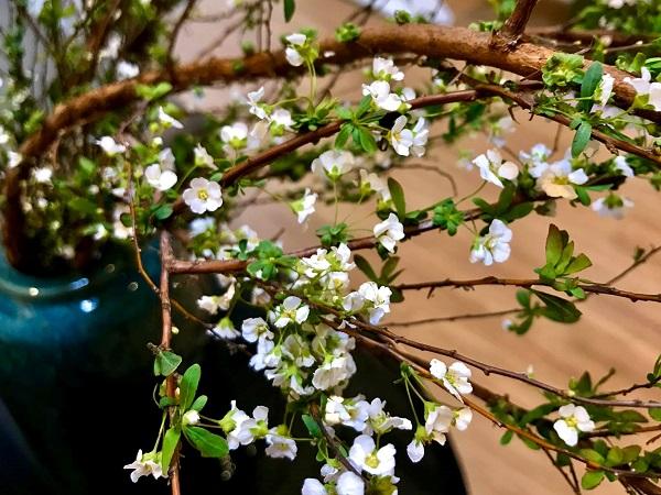Hoa Tuyết Mai - Nguồn gốc, đặc điểm, ý nghĩa, cách chăm sóc hoa bền lâu - 3